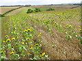 SU0827 : Sunflowers, Portfield Road by Maigheach-gheal