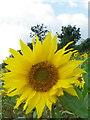 SU0827 : Sunflower (Helianthis annuus), Portfield Road by Maigheach-gheal