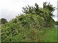 SU0827 : Traveller's Joy (Clematis vitalba), Portfield Road by Maigheach-gheal