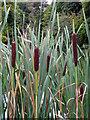 ST9331 : Bulrush (Typha latifolia) by Maigheach-gheal