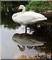 TQ8353 : Whooper Swan, Leeds Castle, Kent (Cygnus cygnus) by Christine Matthews