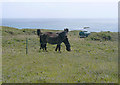 SV9109 : Ponies for Conservation Grazing, Peninnis Head, Scilly by John Rostron