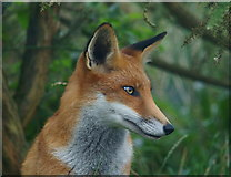 TQ3643 : Fox Portrait by Peter Trimming