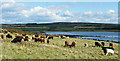 NS0558 : Cattle by the Shore by Anne Burgess