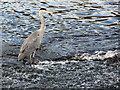 SJ8390 : Grey Heron at Northenden Weir by David Dixon