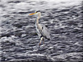SJ8390 : Grey Heron, Northenden Weir by David Dixon