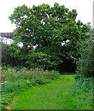 TQ1979 : Tree in Gunnersbury Park by Thomas Nugent