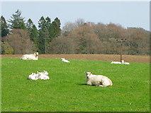 NO2150 : Ewes and lambs near Fyal by Maigheach-gheal