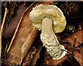 J4681 : Fungus, Crawfordsburn Country Park, 2011-10 by Albert Bridge