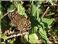 SX4348 : Butterfly near Homebarton Hill by Derek Harper