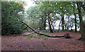 TL4004 : Fallen tree in Galleyhill Green by Roger Jones