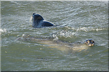 HP5605 : Common Seals (Phocina vitulina), playing in the surf, Westing by Mike Pennington