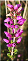 NJ2150 : Bell Heather (Erica cinerea) by Anne Burgess