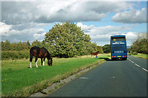 NZ5107 : Horses by the A172 by Robin Webster