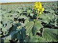 TL1284 : Charlock growing in Oil Seed Rape by Michael Trolove