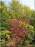 SX9066 : Trees by Barton tip by Derek Harper