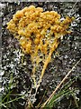 NS3581 : Slime mould plasmodium by Lairich Rig