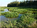 TR0261 : Water and reeds by a footpath on the outskirts of Faversham by pam fray