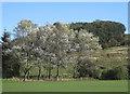 SE6077 : Copse of whitebeam trees by Pauline E