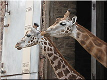 SJ4170 : Giraffe House at Chester Zoo by Carol Walker
