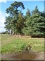 TQ4731 : Greenwood Gate Clump, Ashdown Forest by Marathon
