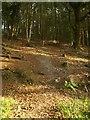 SY1491 : East Devon Way in Buckley Plantation by Derek Harper