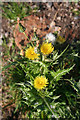 NJ2649 : Rough Sow-thistle (Sonchus asper) by Anne Burgess