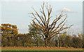TQ8199 : Dead tree on field boundary by Roger Jones