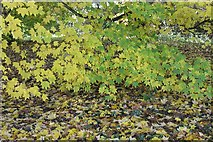 SE7170 : Leaves changing colour by Pauline E