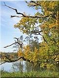 SE7170 : Sickly oak tree by Pauline E