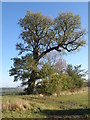 TL1381 : Elm tree near Little Gidding by Michael Trolove