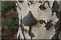 SK5752 : Fungus on birch stump by Alan Murray-Rust