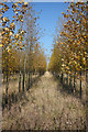 SK7847 : Grange Poplars by Richard Croft