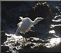 SX8772 : Egret shaking itself, Hackney Channel by Derek Harper