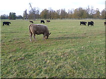 TQ1776 : Cattle in Syon Park by Marathon