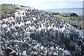 NU2337 : Guillemots on Staple Island by N Chadwick