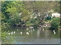 SO7390 : Swans at Quatford by Mat Fascione