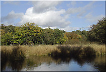 SO8991 : Reed beds in Baggeridge Country Park near Wombourne by Roger  Kidd