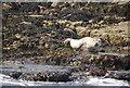 NU2438 : Seal on Longstone by N Chadwick