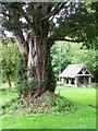 ST8820 : Yew tree, St Thomas's Churchyard by Maigheach-gheal