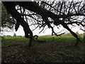 SJ6668 : A fallen willow tree on the edge of boggy pasture by Dr Duncan Pepper
