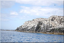 NU2135 : Birds on the cliffs of Inner Farne by N Chadwick