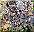 ST9331 : Turkey Tail bracket fungi by Jonathan Kington