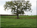 SJ6962 : Solitary oak tree in grass crop by Dr Duncan Pepper