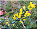 SU2307 : Gorse flowers by Jonathan Kington