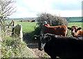 SW6041 : Cattle at Menadarva by Graham Horn
