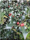 TQ2688 : Holly, Falloden Way N2 by Robin Sones