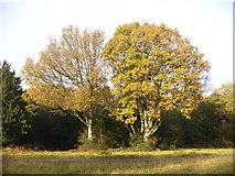 TQ1350 : Trees on Ranmore Common by Colin Smith