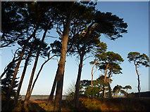 NT6378 : Coastal East Lothian : The Hedderwick Pines by Richard West