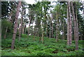 SU7926 : Conifers and Bracken by N Chadwick